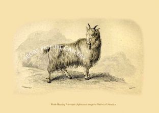 Wool-Bearing Antelope (Aplocerus lanigera) Native of America
